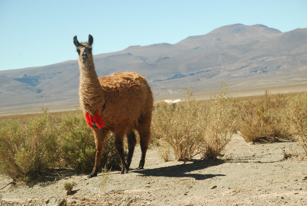 Llamas in the high plateau, Salta, Argentina