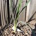 allium carinatum / berglook