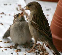 Begging (wisely-chosen) Tags: wild baby birds birdseed eating mother may picnik 2010 housesparrows canonef70300mmf456isusmlens adobephotoshopcs4