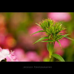 Inner Beauty (Apogee Photography) Tags: pink flower macro green austin nikon texas dof bokeh depthoffield austintexas bud nikon105mmf28 d5000 nikond5000 flickrunitedaward