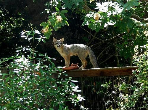 fox2 lila lippow, mtz