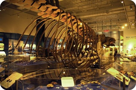 Whale skeleton at the Canadian Museum of Nature