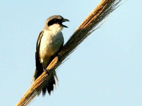 Loggerhead Shrike 2-20100524
