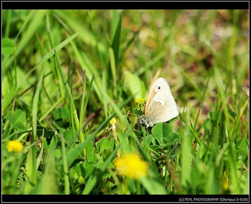 Inornate Ringlet (Coenonympha tullia inornata)