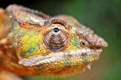 Chameleon quite close...