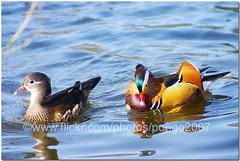 Papier-mch ducks (pongo 2007) Tags: duck europe mandarin aixgalericulata pongo2007