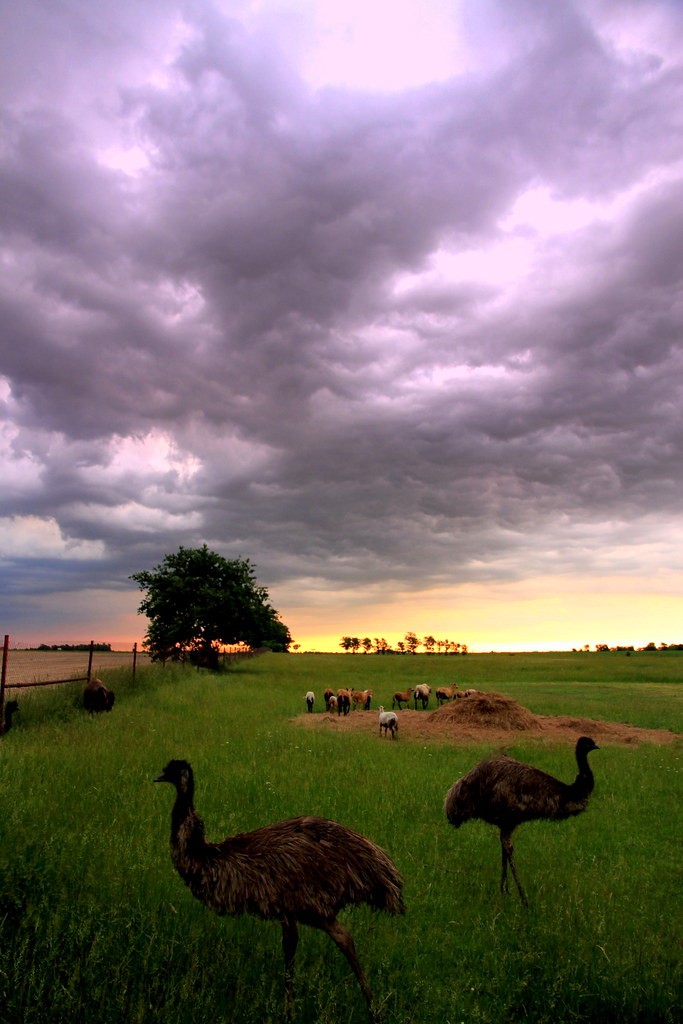 Emu and Storm Clouds Oklahoma