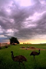 Emu and Storm Clouds Oklahoma