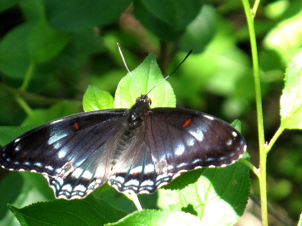 Sunlit Dorsal View - Red Spotted Purple / White Admiral hybrid Butterfly