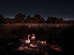 Lynde-Marsh-Swans160 (ben ng2009) Tags: world life family light baby canada art love childhood birds fairytale sunrise wonder landscape happy hope gold evening poetry artist mood remember peace escape heart emotion affection time spirit wildlife magic dream peaceful happiness canadian dreaming story swans american dreams infrared romantic spiritual relationships motherandchild magichour timeless feelings contemplation goldenlight companionship lyndeshores lyndemarsh