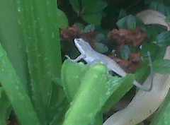 Lizard on the lily