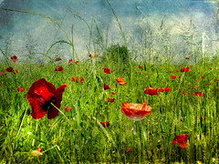 ..in a flowery meadow... (MargoLuc) Tags: texture poppies parcodellecave theunforgettablepictures platinumheartaward artistictreasurechest magicunicornverybest magicunicornmasterpiece