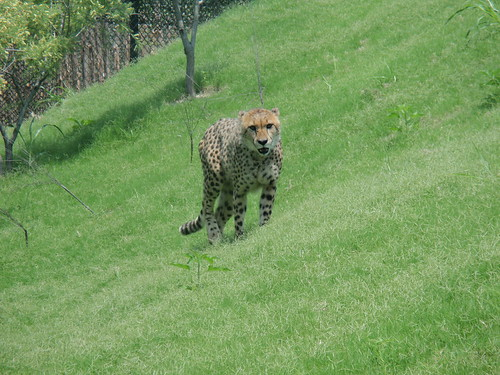 Cheetah Walking towards us