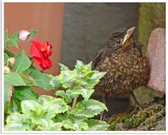 Gestatten: Nestflüchterin Paula - allow me to introduce myself: precocial  bird Paula