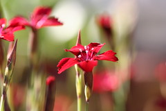 Flaming June (mamacroft) Tags: red june scarlet ruby 1001nights rockery flamingjune perrenial
