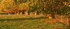 Shelter Trees (Catching Magic) Tags: autumn newzealand nikon tiraudan tirau