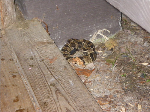 Timber Rattlesnake - Black Phase