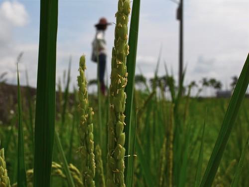 鳳林種稻記 川口由一式自然農法 開花結穗