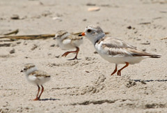 Piping Plover with chicks (auburnxc) Tags: baby water animals newjersey spring sand may nj chick capemay apc pipingplover eastcoast 2010 atlanticcoast charadriusmelodus pipingploverchick auburnphotographyclub may302010 pipingploverwithchicks