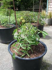Vegetable Garden 2010