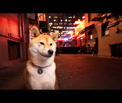 Night Life - 23/52 (kaoni701) Tags: sf sanfrancisco city portrait urban dog cute night japanese restaurant nikon dof bokeh flash iso tokina financialdistrict frenchquarter nightlife diffusion suki shibainu cls beldenplace week23 shibaken 柴犬 1116 strobist sb900 d300s 52weeksfordogs