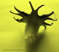 Aseroe rubra Starfish - Fungus (YAZMDG (16,000 images)) Tags: nature leaves moss australia seeds fungi bark fungus rivers nsw lichen detritus northern pods basidiomycota florafauna yaz saprophytic aseroerubra northernrivers phallaceae goonengerry detritivore seaanemonefungus mycoheterotrophs yazminamicheledegaye yazmdg mycoheterotrops northernriversfungi anemomestinkhorn ystudio