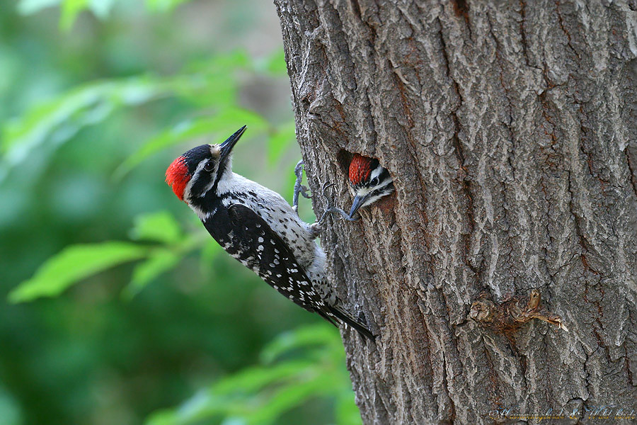 Nuttall's-Woodpecker-051010