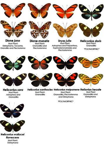 Butterflies Characteristics