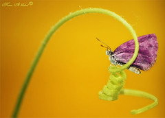 2 (mzna al.khaled) Tags: macro colors beautiful yellow butterfly insects natrue    thebestyellow