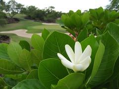 Tahitian Gardenia and the Mauna Lani North Course (troymckaskle) Tags: flower hawaii bigisland tiare gardenia tropicalflower maunalani tahitiangardenia hawaiibigisland