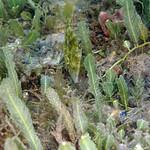 IMG_5425are Planehead Filefish (Stephanolepis hispidus) thumbnail