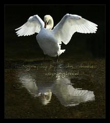Wings of an Angel (Hawkonefive) Tags: shot awesome ngc specanimal anawesomeshot thewonderfulworldofbirds slbstretchingwings bestcapturesaoi elitegalleryaoi artistoftheyearlevel3 artistoftheyearlevel4 peregrino27life artistoftheyearlevel5 artistoftheyearlevel7 artistoftheyearlevel6 vigilantphotographersunite vpu2 vpu3 vpu4 vpu5 vpu6 vpu7 vpu8 vpu9 vpu10