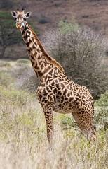 IMG_0801_ Masai Giraffe. (maqsmughal) Tags: lens kenya 5d masaigiraffe nairobinationalpark 300f4l maqs naturesgreenpeace