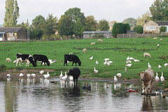 Leeds/Liverpool Canal (near Bingley) (Halliwell_Michael ## Thank you for your visits #) Tags: autumn reflection geese cattle canals westyorkshire 2010 leedsliverpoolcanal nikond40x