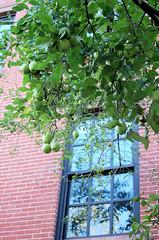chelsea apples