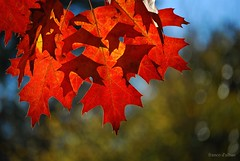 Canadian oak (Franco DAlbao) Tags: autumn naturaleza canada tree nature leaves contraluz hojas oak rbol otoo roble nikond60 dalbao francodalbao