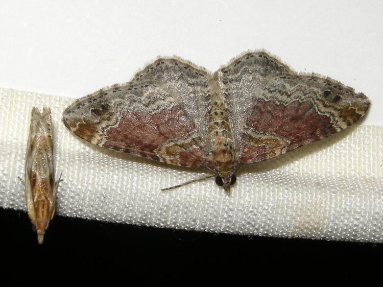 Eucosma cana & Red Twin-spot Carpet, Bawdeswell (Norfolk), 29-Jul-10