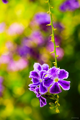 Colorful bokeh (-clicking-) Tags: flowers floral beautiful garden nice colorful dof purple blossom bokeh vibrant bloom flowering lovely vibrance happyday 100commentgroup