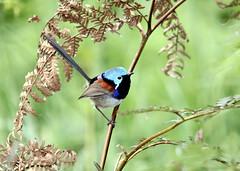 Variegated Fairy-wren (boombana) Tags: sydney australia nsw 2010 royalnationalpark australianbirds fairywren variegatedfairywren maluruslamberti malurus wattleforest