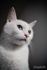 (lulu.photo) Tags: cat nikon whitecat sigma50mm luluphoto d700 misterpeaches lauralayeraphotography