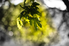 Once Upon a Summer (Aspiriini) Tags: summer maple turku bokeh vaahtera kurala jonilehto aspiriini