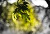 Once Upon a Summer (Aspiriini) Tags: summer maple turku bokeh vaahtera kurala jonilehto aspiriini