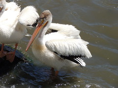 American White Pelicans (Two Cats Productions) Tags:
