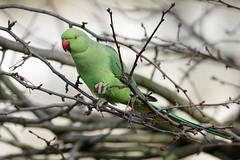 a rose ringed parakeet in a tree (3) (Franck Zumella) Tags: bird oiseau parakeet perruche perroquet vert collier ringed rose tree arbre eat eating manger