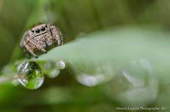 Saltique #2 (Manonlemagnion) Tags: insecte araignée mignion grosyeux saltique nature sauvage macro gouttes bokeh croppe nikond7000 105mm28