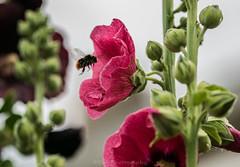 Hhmm lovely / Hhmm Heerlijk (Stef32Photo) Tags: bumbelbee flyingbumbelbee hommel vliegendehommel pink roze flower bloem d5300 nikon macro105mm noordholland northholland groen green daylight daytime overdag daglicht flying vliegen