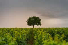 Lonely tree (jbrambaud) Tags: vineyard meursault bourgogne burgundy vine wine tree spring