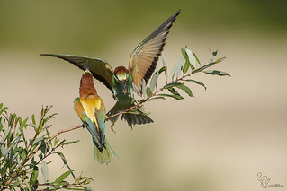 Merops apiaster - gruccione - European bee-eater - Guêpier d'Europe