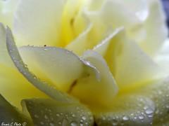 Perles jaunes (Noemie.C Photo) Tags: pearl perles gouttes drops droplets goutelettes jaune yellow rose fleurs flower garden j jardin pluie rain colors petales petals