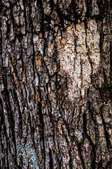 Misc. Outdoors-67.jpg (Drew Rampley) Tags: brown lichen oak patch rough texture tree treebark winter woods